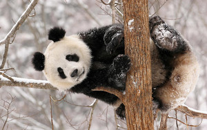 Preview wallpaper of Animal, Panda, Snow, Trees