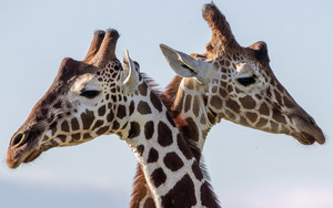 Preview wallpaper of Giraffe, Wildlife, Animal