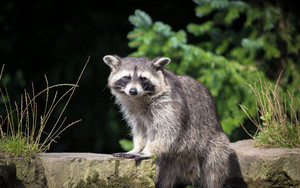 Смотреть обои Raccoon, Stare, Wildlife, Animal