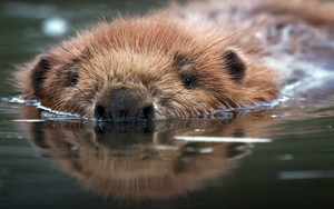 Preview wallpaper of Animal, Beaver, Reflection, Water, Wildlife