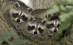 Смотреть обои Raccoon, Wildlife, Baby, Animal