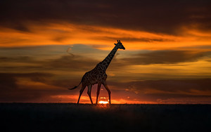 Preview wallpaper of Animal, Giraffe, Sunset, Wildlife
