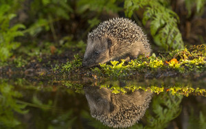 Смотреть обои Hedgehog, Reflection, Wildlife