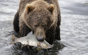 Смотреть обои Bear, Fish, Wildlife, Predator, Animal