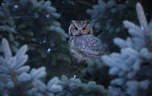 Preview wallpaper of Bird, Great Horned Owl, Owl, Wildlife