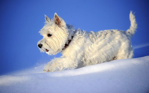 Preview wallpaper of Animal, Snow, West Highland White Terrier
