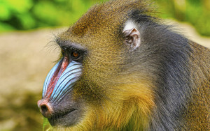 Preview wallpaper of Animal, Mandrill, Monkey