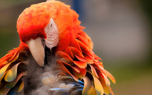 Preview wallpaper of Animal, Bird, Parrot, Red, Blue, Orange