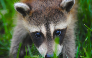 Смотреть обои Animal, Cub, Face, Grass, Raccoon