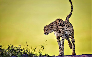 Смотреть обои Animal, Big Cat, Cheetah, Long, Legs, Spotted