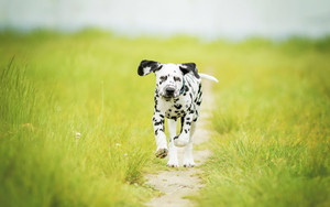 Смотреть обои Baby, Animal, Dalmatian, Depth Of Field, Dog Grass