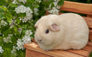 Preview wallpaper Cute, guinea pig, , flower, animal