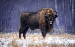 Preview wallpaper of Animal, American Bison, Wildlife