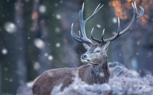 Смотреть обои Deer, Wildlife, Winter, Snow