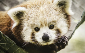 Смотреть обои Animal, Red Panda, Stare, Wildlife