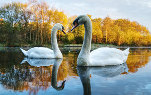 Смотреть обои Bird, Reflection, Swan, Wildlife