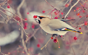 Смотреть обои Animal, Bird, Cedar Waxwing