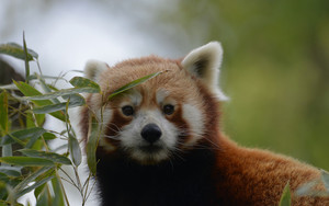 Preview wallpaper of Animal, Red Panda, Wildlife