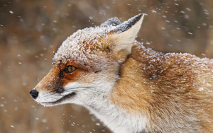 Смотреть обои Fox, Snowfall, Wildlife, Animal