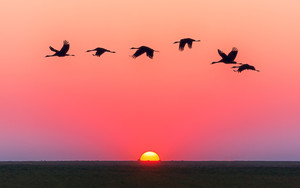 Preview wallpaper of Swans, Sunset, Horizon