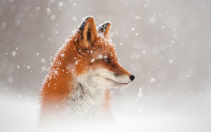 Preview wallpaper of Animal, Snowfall, Squirrel, Wildlife