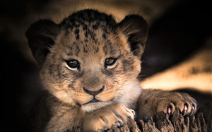 Смотреть обои Baby, Animal, Cub, Cute, Lion