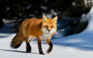 Preview wallpaper of Fox, Snow, Wildlife, Animal