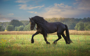 Preview wallpaper Animal, Horse, Black, Trees, Field