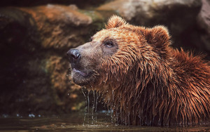 Смотреть обои Bear, Wildlife, Predator, Animal