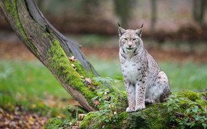 Смотреть обои Big Cat, Lynx, Wildlife, Predator, Animal