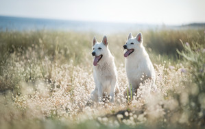 Preview wallpaper of Berger Blanc, Suisse, Depth Of Field, Dog, Pet