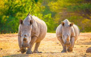 Preview wallpaper of Rhino, Wildlife, Animal