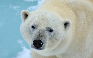 Смотреть обои Polar Bear, Stare, Wildlife, Predator, Animal