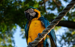 Preview wallpaper of Parrot Ara, Bird, Rope, Sits