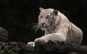 Смотреть обои Cat, Big Cat, White Tiger, Predator, Animal
