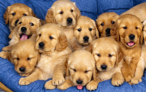 Preview wallpaper of Baby-Animals, Dog, Golden-Retriever, Pupppies