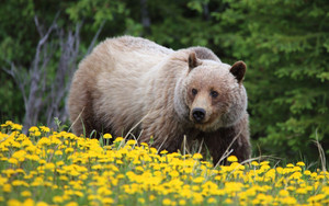 Preview wallpaper of Animal, Bear, Dandelion, Flower, Grizzly, Wildlife