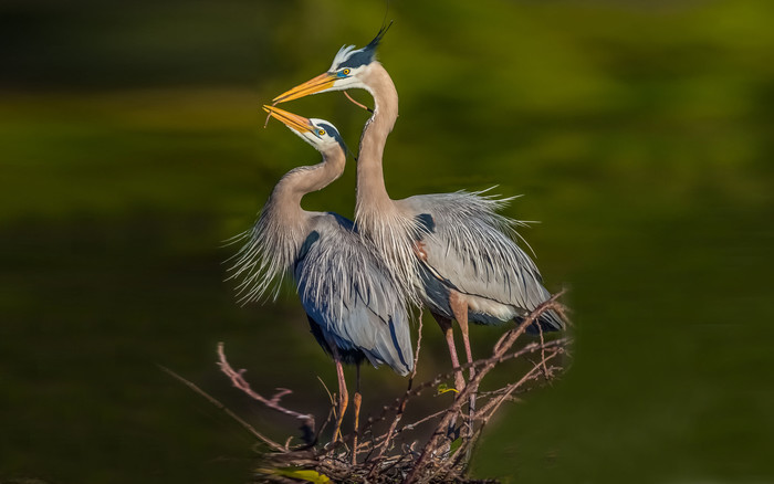 HD Wallpaper of Animal, Bird, Blue Heron, Heron