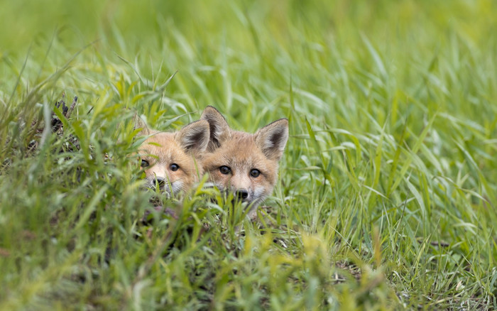 HD Wallpaper of Fox, Grass, Stare, Wildlife