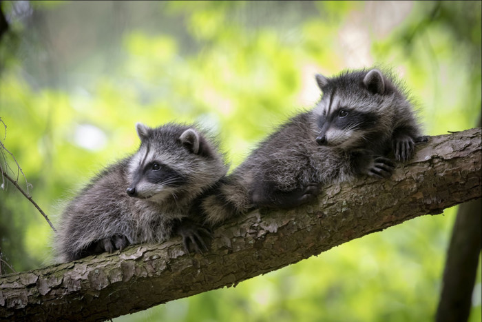 Wallpaper of Animal, Raccoon, Wildlife, Trees background & HD image