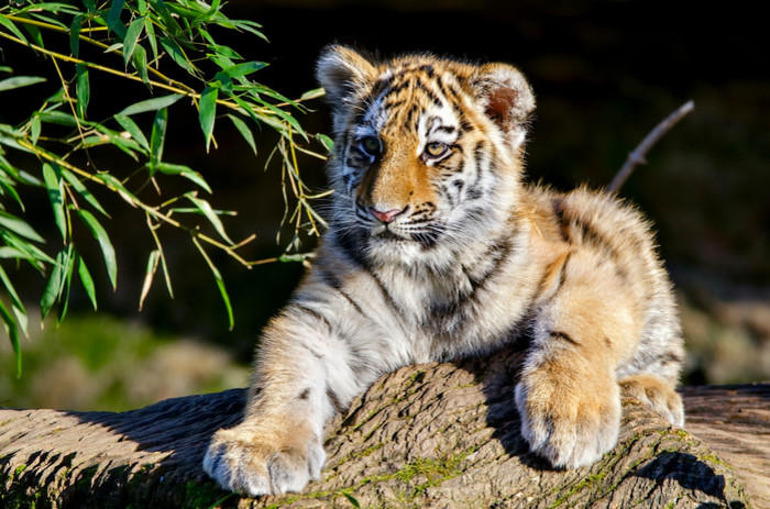 Amur Tiger, Baby, Cub, Tiger, Wildlife Wallpaper. Download Animals (Животные) HD desktop background image