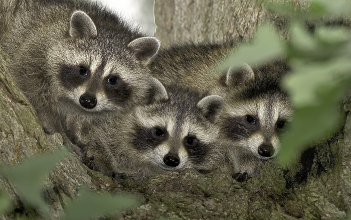 HD Wallpaper of Raccoon, Wildlife, Baby, Animal
