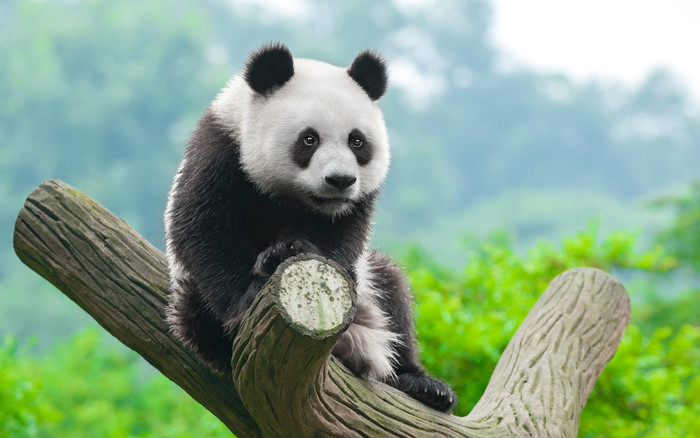 Wallpaper of Panda, Cute Animals, Fuzzy background & HD image