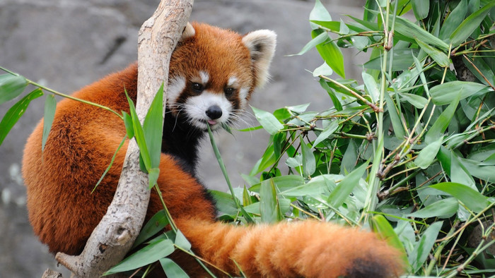 HD Wallpaper of Red Panda, Animal, Fluffy