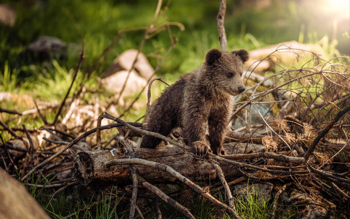 HD Wallpaper of Bear Cub, Cub, Branch, Walk