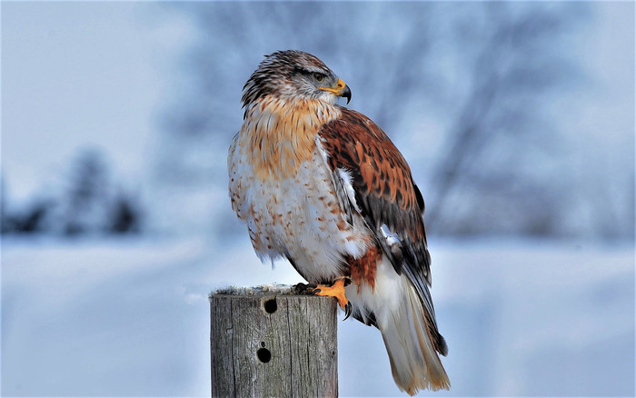 HD Wallpaper of Animal, Bird, Ferruginous, Hawk, Post, Winter
