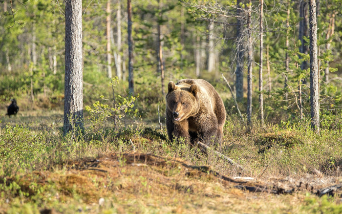HD Wallpaper of Bear, Wildlife, Predator, Animal