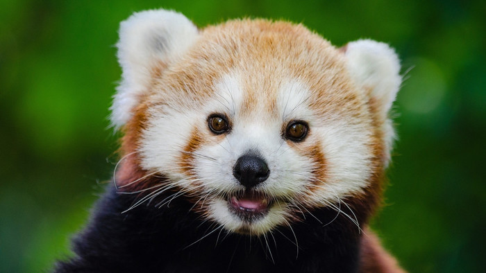 Wallpaper of Animal, Red Panda, Cute, Muzzle background & HD image