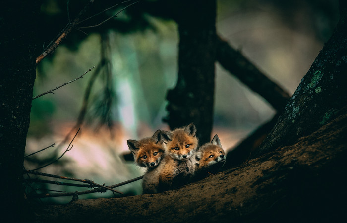 Wallpaper of Baby, Animal, Cub, Fox, Wildlife background & HD image