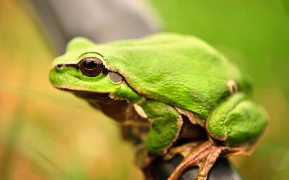 HD Wallpaper Green Frog, Close-up